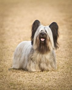 Skye Terrier by Neptunecocktail Skye Terrier, Terrier Breeds, Terrier Dogs, Terriers, I Love Dogs, Cute Dogs, Unusual Dog Breeds, Smartest Dog Breeds, Animals