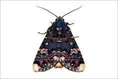 Polytela Gloriosae / Lily Moth