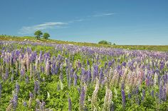 Print of Wild Lupine Flowers in Maine blueberry field.