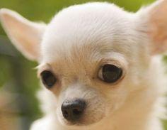 White   white chihuahua puppy