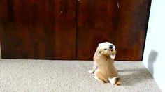 Shiba Inu Puppy Might Be Half Owl
