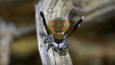 Dişi Örümceği Tavlamak İçin İlginç Dans Figürleri Yapan Tavus Kuşu Örümceği