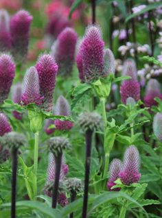 Trifolium rubens: Flowers May - August. Good for bees and butterflies. 0.6m high x 0.4m wide.