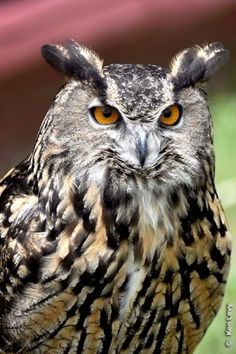 A Eurasian eagle owl, similar to one featured in the Harry Potter movies, looks over the crowds at the Second Annual Raptor Fest at the Teton Raptor Center in Wilson, Wyo.   TVN photo by Ken Levy