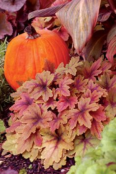 heuchera sweet tea - Google Search
