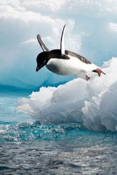 An Adelie penguin (Pygoscelis adeliae) leaps into the sea, Antarctica by Thomas Picard