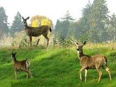 Deer in pasture