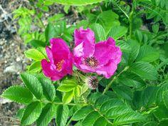 Rosa rugosa - kurttulehtiruusu - vresros