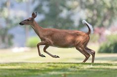 deer jumping - Google Search