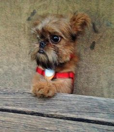 Koba the Brussels Griffon-OMG...What a cute face!