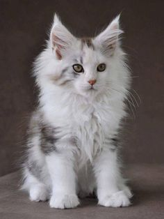 Maine Coon Kittens & Cats are so adorable! Visit our post to find out how you ca… Maine Coon Kittens & Cats are so adorable! Visit our post to find out how you can adopt this loving breed of cat and have a cute companion! Pretty Cats, Beautiful Cats, Animals Beautiful, Cute Kittens, Cats And Kittens, Cats Meowing, Cats Bus, Ragdoll Kittens, Bengal Cats