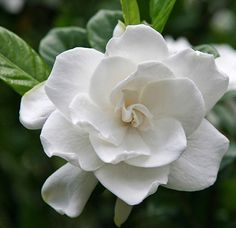 Gardenias, my absolute favorite scent in the world.  I wish I had a garden full of these!