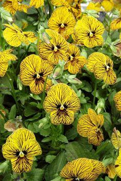 Brown Flowers, Iris Flowers, Flowers Nature, Love Flowers, Yellow Flowers, Colorful Flowers, Planting Flowers, Pansy Flower, Yellow Plants