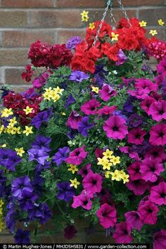 Hanging basket with blue and purple petunias, trailing geraniums and Bidens
