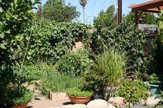 Lemon grass in pots