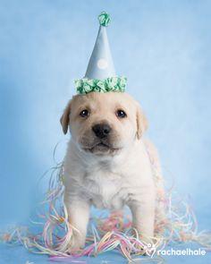 Luke (Golden Labrador) - Lets Party!  (pic by Rachael Hale)