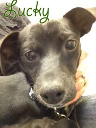 Lucky the Chihuahua Puppy is an adoptable Chihuahua Dog in Carlsbad, CA. Lucky came to Upward Dog Rescue on March 12, 2012. He is a beautiful 5-6 month old Chihuahua puppy who came to us as a stray fr...