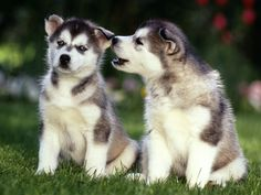 Siberian Husky Puppies. For more cute puppies, check out our youtube channel: https://www.youtube.com/channel/UCH7efODYtEdnWfAm1eS4NMA