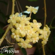 HOYA C.V VIOLA WELL ROOTED  CUTTING/ RARE HOUSE PLANT