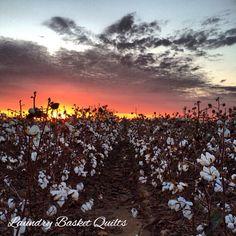 Sunset tonight over a cotton field in Missouri.