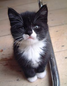 Just adopted a 17 year old tuxedo girl. Would have loved to  have had her at this young age!!