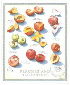 Peaches and Nectarines - John Burgoyne Studio