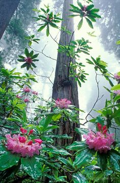 Rhododendron and Redwood trees; Del Norte Redwoods State Park,