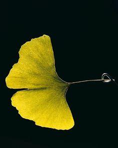 Golden gingko leaf