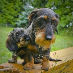 Dachshunds Wirehaired