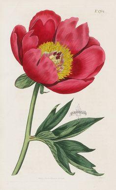 Single-Flowered Common Peony from 1815 Curtis Botanical Magazine Red, Orange Highly Decorative Prints