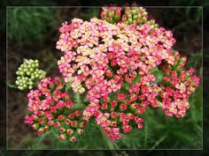 yarrow flower | Yarrow Flower Photos