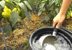 Дрожжевые подкормки полезны для всех овощных культур