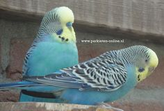 www.parkieten-online.nl budgies, parakeets, grasparkieten