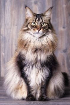 Cute Kittens Maine Coon Cat Wallpaper Added on , Tagged : Cute Kittens, Maine Coon Cat at Cute Kittens Pictures Pretty Cats, Beautiful Cats, Animals Beautiful, Cute Animals, Animals Images, Baby Animals, Funny Animals, Gato Maine, Maine Coon Cats