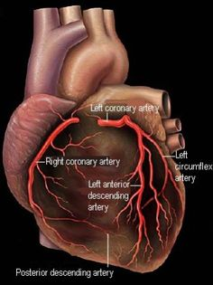 The Heart and Coronary Arteries - Patrick J. Lynch, medical illustrator: Licenses