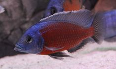 Tropical Aquarium, Tropical Fish, Malawi Cichlids, Simple Pictures, Parrot, Animals, Parrot Bird, Animales, Animaux