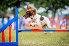 Dog agility photography, training, drills and jumps at Just Dogs Live course in Peterborough. Jumping spaniel dog.