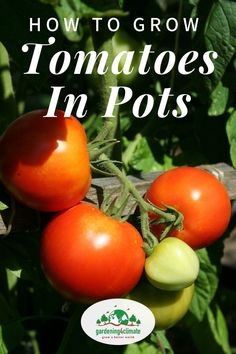 No garden? No problem.you can still have homegrown tomatoes! Tomatoes can easily be grown in pots on a patio, conservatory or balcony. Learn how here!