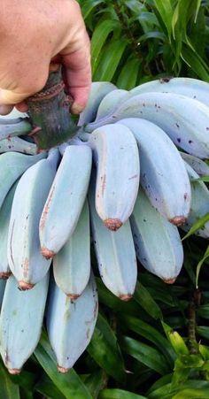 musa icecream blue java banana - Google Search