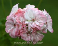 Pelargonium Eileen Nancy
