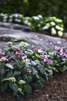 Easy To Grow Houseplants, Endless Summer Hydrangea, Perfect Plants, Live Plants, Vegetables, Flowers, Veggie Food, Vegetable Recipes, Royal Icing Flowers