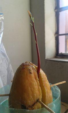 avocado seed germination
