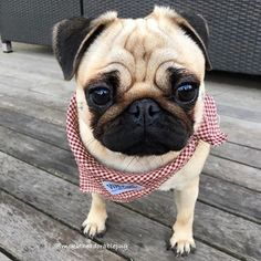 Brown pug with a red and white checkered bandanna!