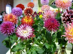 Dahlias at the Iowa State Fair.