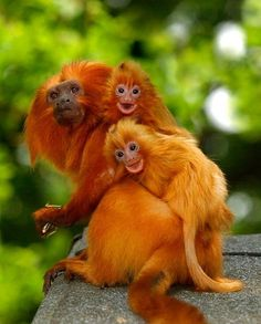 Happy family... ~Endangered Golden Lion Tamarins  {by Chris Balcombe}