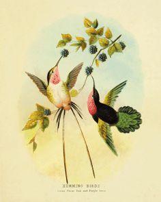 Hummingbirds Vintage Bird Print Nature print Vintage prints Victorian art home decor wall art old prints 1800 Natural History 8x10 art print...