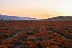 The Stumbleweeds ( Antelope Valley Poppy Reserve, Poppies, Channel, Public, Mountains, Facebook, Photo And Video, Check, Youtube