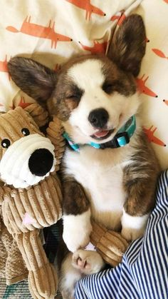 cutest animal photos cute baby animals, cute d Baby Corgi, Cute Corgi Puppy, Corgi Funny, Corgi Dog, Cute Puppies, Cute Dogs, Cute Babies, Teacup Puppies, Lab Puppies