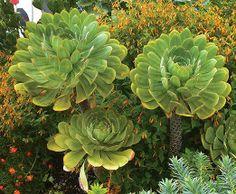 Aeonium hierrense World of Succulents