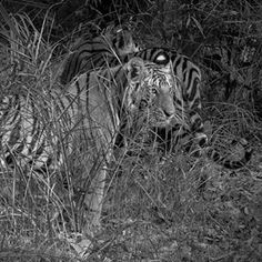 Tigers!  Seen in Bandhavgarh National Park, this image shows a brother and sister who were around two years old.  #tiger #tigeress #tigers #nature #tiger🐯 #tigertime #bigcat #cats #catsofinstagram #india #bandhavgarh #traveler #instalike #photographer #explore #animalkingdom #indiansafari #safari #animalsofinstagram #beautifulnature #natureshots #blacknwhite_perfection #bnw_captures #blackandwhite #predator #nikon #naturepics #igdaily #wildlifephotographer #natureshots #travelgram